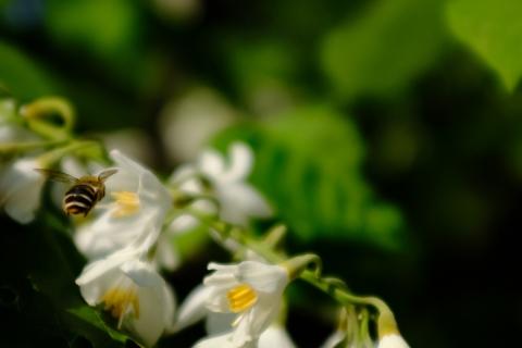 11沙羅双樹のハチ