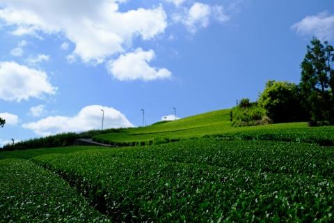 06最初の茶畑