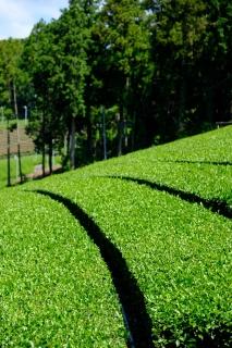 13菊川の茶畑
