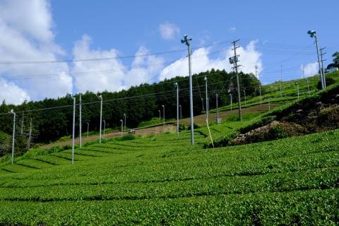 14菊川の茶畑