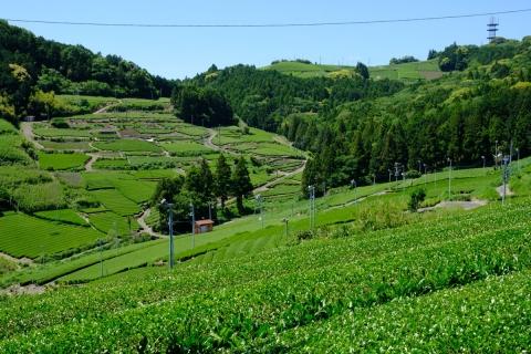 18菊川の茶畑