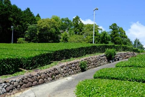 19菊川の茶畑