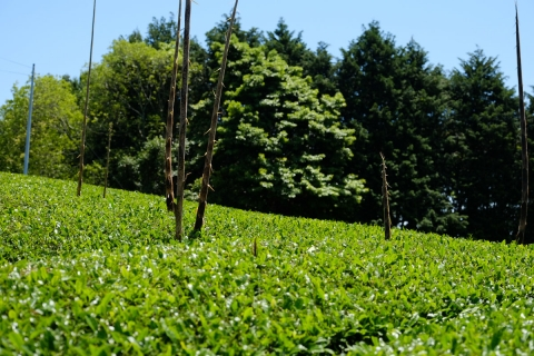 24菊川の茶と竹