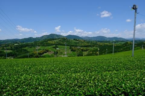 25菊川の茶畑と茶のマーク