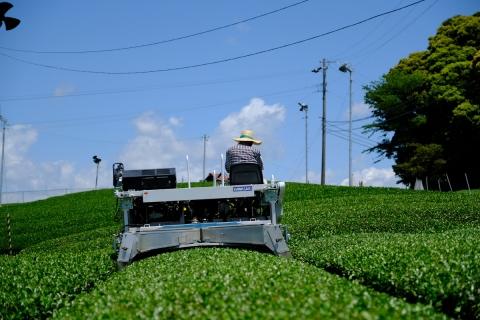 28茶の木を刈る