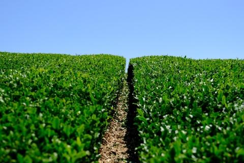29茶畑の隙間