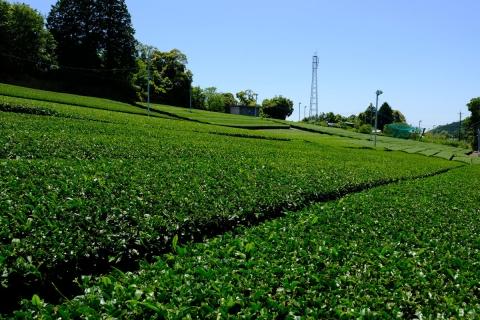 30日坂の茶畑