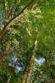 18イギリス樹木