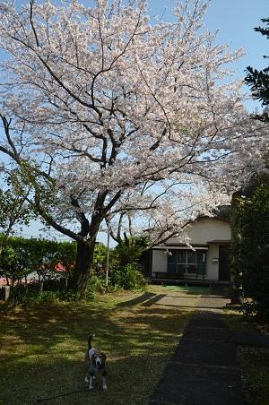 20180329新井神社11