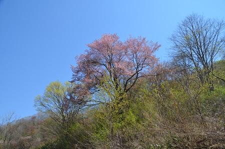 20180426戸赤の山桜10