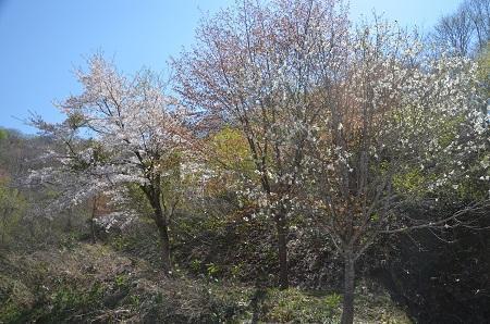 20180426戸赤の山桜09
