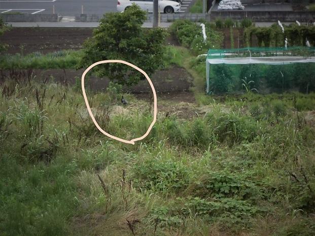 18.6.15 散歩キジ (19)_LI