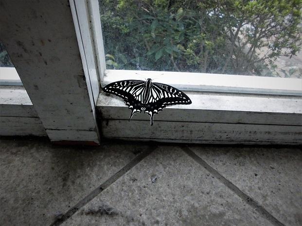 19.6.28 b アゲハ。41℃の出窓、ゴーヤ (18)