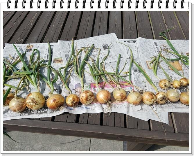 玉ねぎ収穫1-3