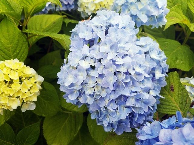 紫陽花1-2