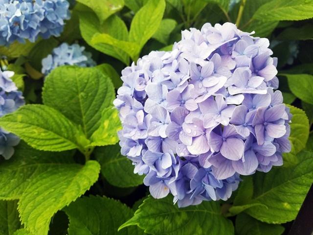 紫陽花1-3