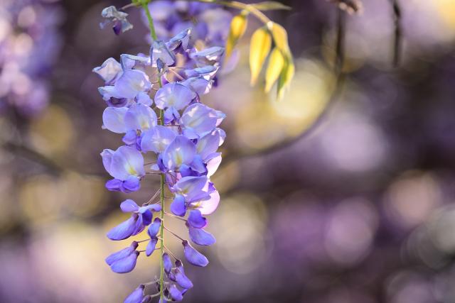 藤の花(3)