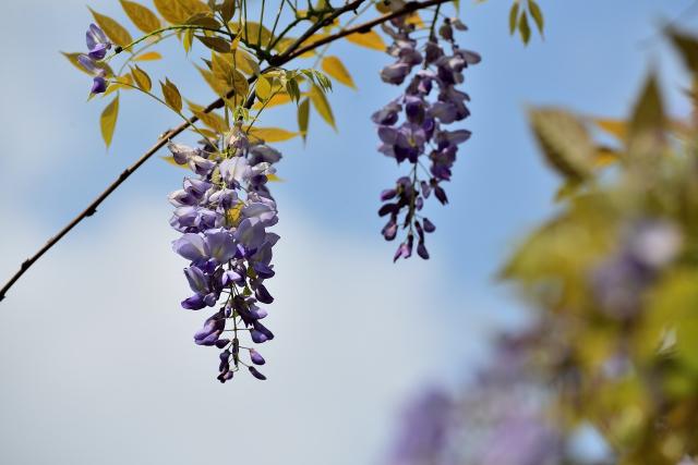 藤の花(1)