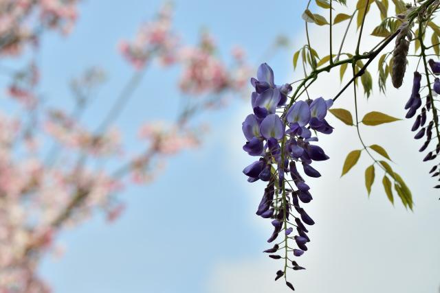 藤の花(2)