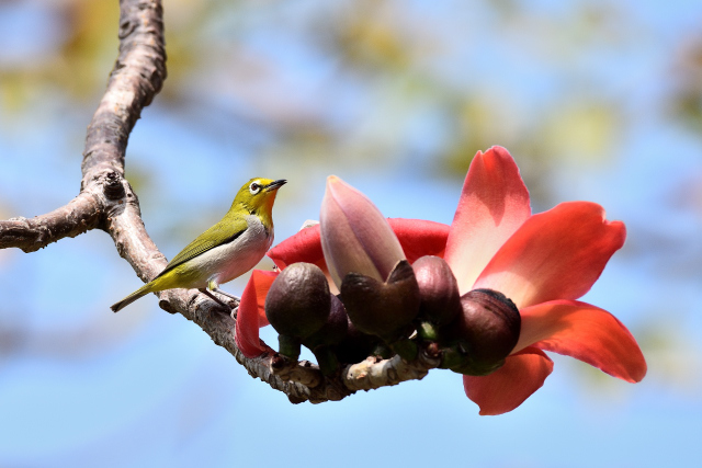 木綿の木と野鳥(3)