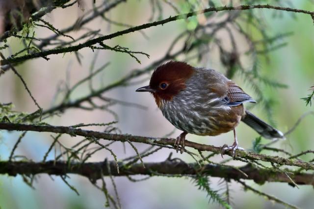 阿里山の野鳥たち(6)