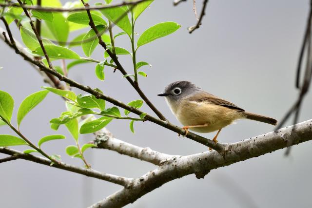 阿里山の野鳥たち(5)