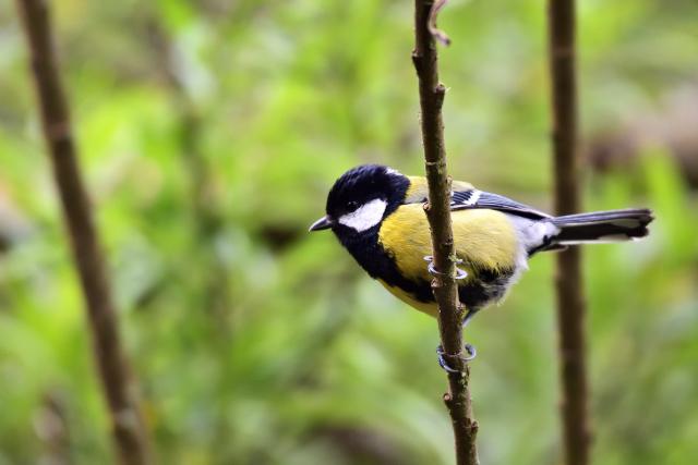 阿里山の野鳥たち(3)