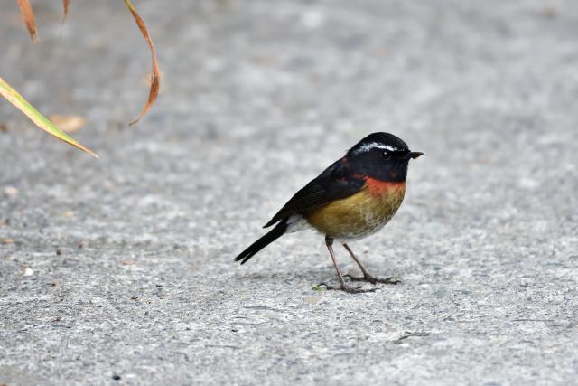 阿里山の野鳥たち(4)