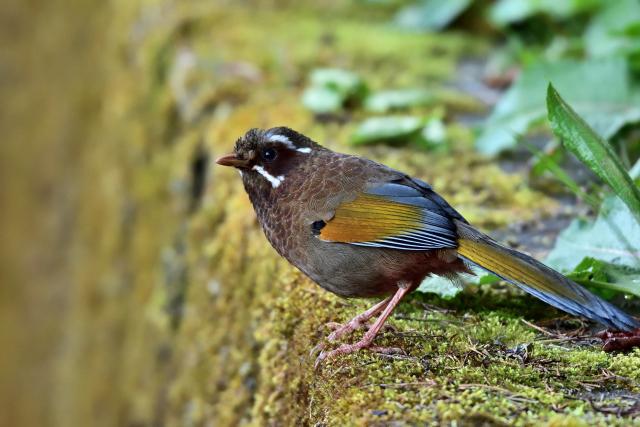 阿里山の野鳥たち(1)