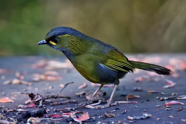 阿里山の野鳥たち(2)