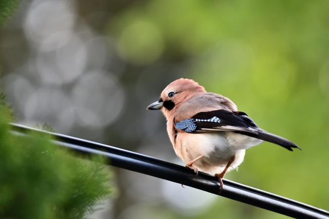阿里山の野鳥たち(7)