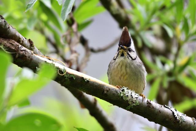 阿里山の野鳥たち(8)