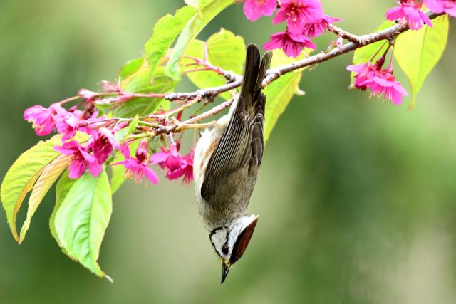 阿里山のカンムリチメドリ(2)