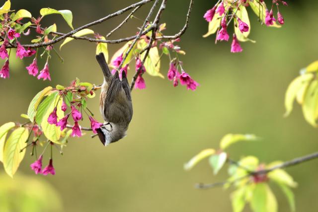 阿里山のカンムリチメドリ(1)