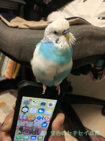 スマホ 空色のセキセイ 珠霞 インコ iPhone