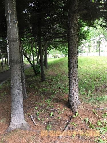 公園 空色のセキセイ 珠霞 インコ ハコベ