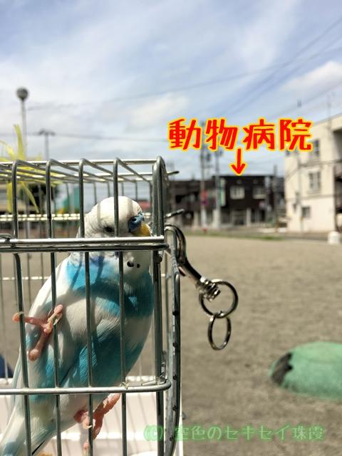 セキセイインコ インコ 怪我 空色のセキセイ 珠霞 動物病院