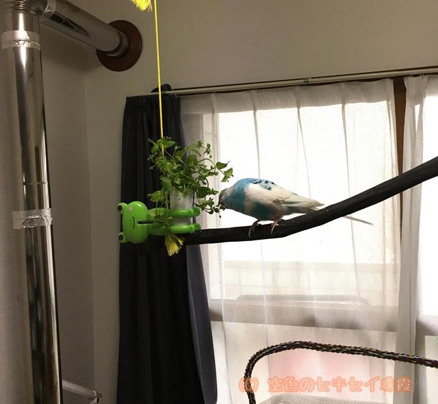 セキセイインコ インコ 野菜 空色のセキセイ 珠霞 ハコベ