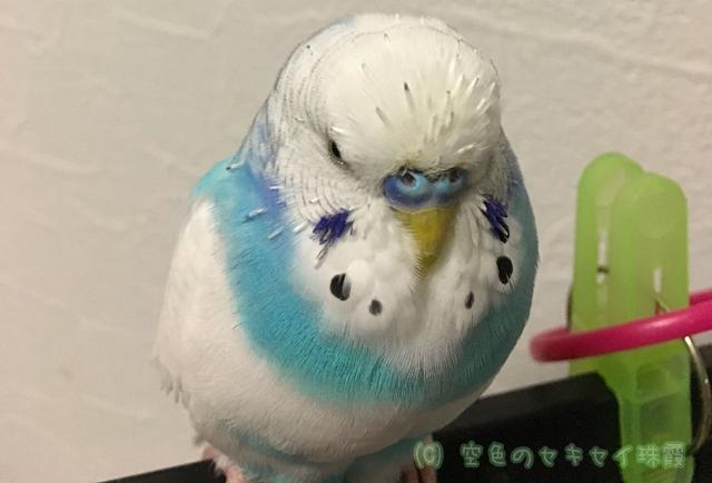 セキセイインコ インコ  空色のセキセイ 珠霞 換羽
