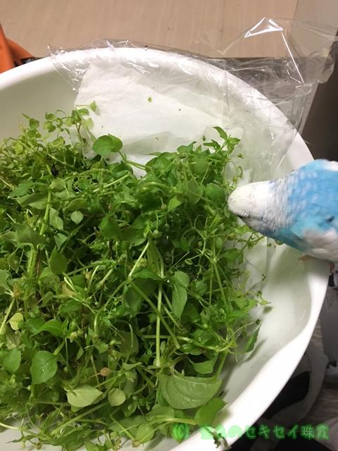 セキセイインコ インコ 野菜 空色のセキセイ 珠霞 ハコベ はこべ