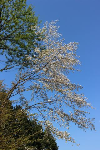 27 04 25 8 山桜