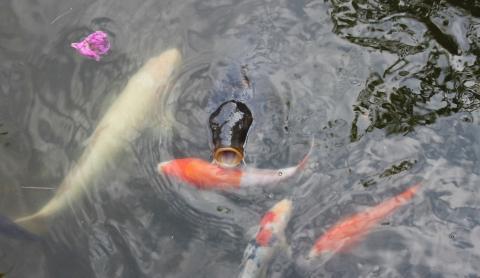 27 05 15 9 がめつい鯉