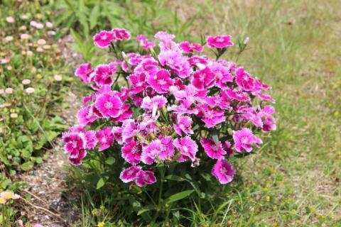 27 05 25 16 ピンクの花