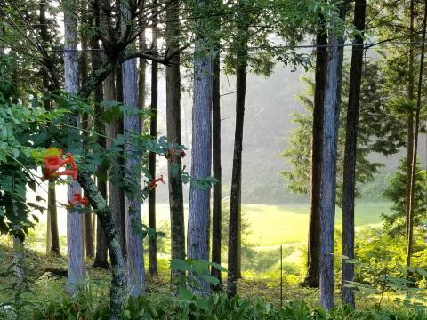 ひのきの林の朝