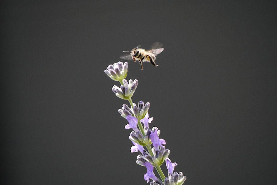 ラベンダーのミツバチ