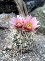 250px-Sclerocactus_nyensis_fh_107_NV_in_cultur_BB[1]
