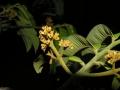 Virola surinamensis2