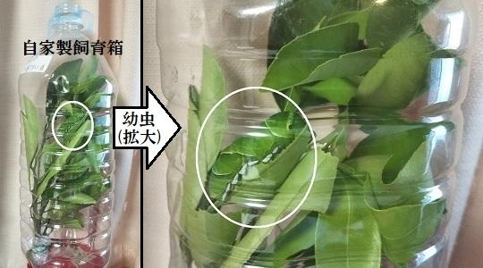 ペットボトルの中で幼虫を飼育