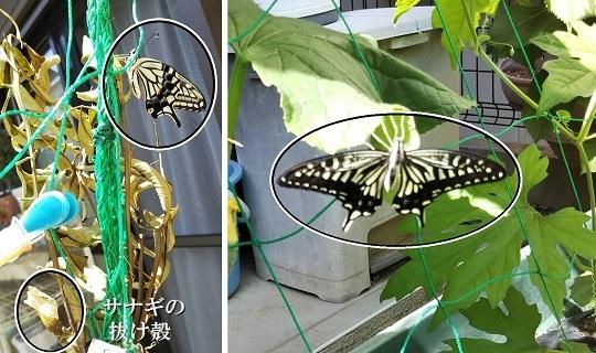 休息する羽化直後のアゲハ蝶