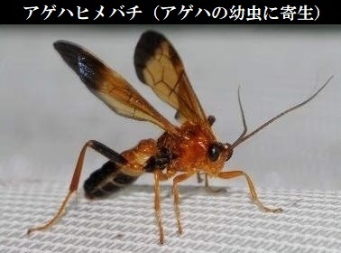 サナギに寄生するアゲハヒメバチ